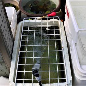 アルビノ楊貴妃 発泡容器水替え