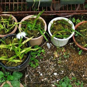 鷺草、ウチョウラン、黒玉星草