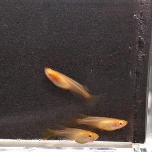 室内水槽の稚魚