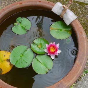 睡蓮今年4回目の開花、メダカはアルビノ白幹之光り