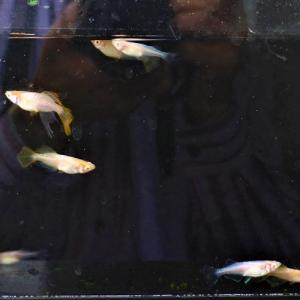 アルビノ楊貴妃天女の舞とアルビノ白幹之光新体形のF3