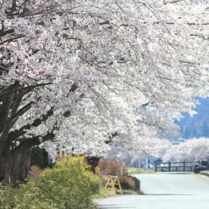 満開の桜をGET!至上最高の花見キャンプその1