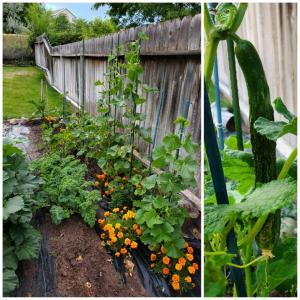 家庭菜園  その後