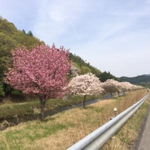 桜 遅咲き?
