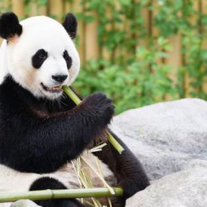 上野動物園のジャイアントPD「シンシン」と「慎森」