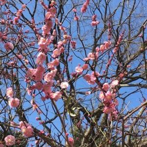 春の訪れ ~梅と大福、そして花粉~