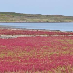北海道ラストラン 13日目-② サロマ湖の見事なサンゴ草に「余は満足じゃ!」