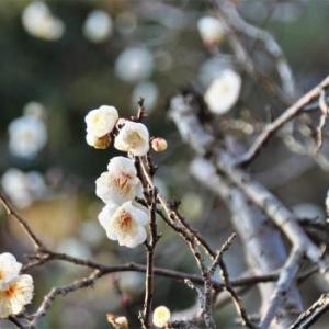 いつもの公園へ、梅の花ウオッチング!