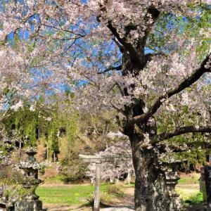 桜狩り 2日目 ➂北へ向かう道路沿いは何処も桜の見頃です