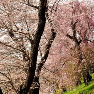 桜狩り 3日目 ①千本桜の烏帽子山公園