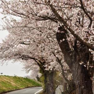 桜狩り 3日目 ②最上川沿いの千本桜