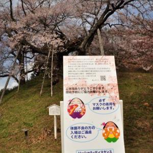 桜狩り 3日目 ④1本桜の眺め