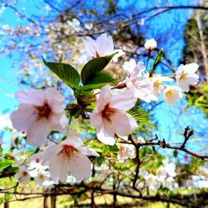 桜前線上がってきた