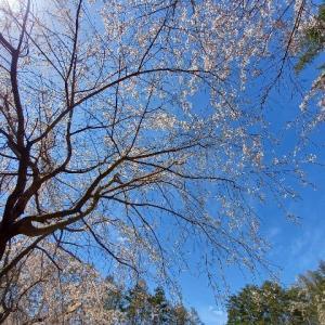 駆け込み桜とウインドジャケット