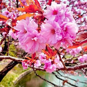 5月の八重桜すずらん池