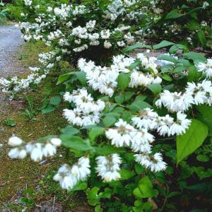 卯の花にウスバシロチョウ