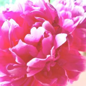 芍薬3種揃い咲き