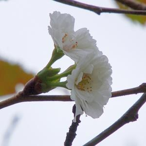 ジュウガツザクラが咲き出して