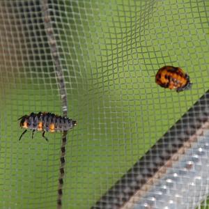 ナナホシテントウ 幼虫からさなぎへ