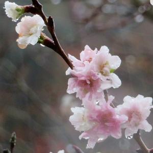 雨の中に咲くジュウガツザクラ