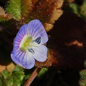 小正月に咲くオオイヌノフグリ