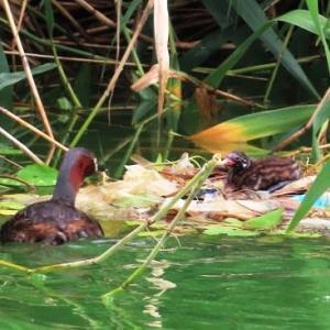 家原大池公園のカイツブリ