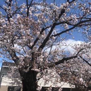 京都とたまたま見かけた桜とラーメン横綱とラーメンライスととん一とホットコーヒーとマクドナルド
