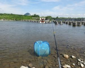 滋賀 2018年6月 野洲川でのコアユ釣り やっと本格化?