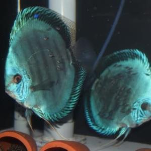 ブルーベリースペシャル幼魚販売開始のお知らせ。
