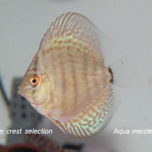 ブルークレスト幼魚(2020.02.15孵化)本日より販売開始いたします。