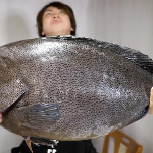 マジの幻の魚が入りました。全身バターみたいな魚。お値段も過去最大です。。。どうしよ【きまぐれクック】