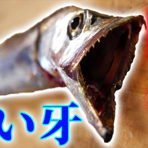 鋭い牙を持つ魚がキレイな料理に大変身!【釣りよかでしょう。】
