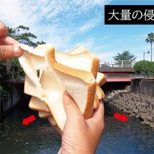 巨大侵略的生物の群れが水深20cmの水路に大繁殖!高級食パンで捕獲に成功した【釣りスギ四平】
