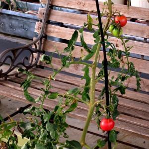 2020年09月24日(木)・・・トマトの苗、0924