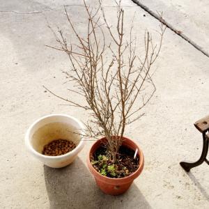 2021年01月26日(火)・・・2015ザクロの苗木、植替え