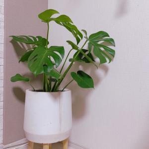 新入り観葉植物と購入品いろいろ