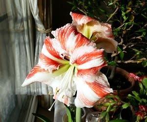 よみがえったか アマリリス開花191122
