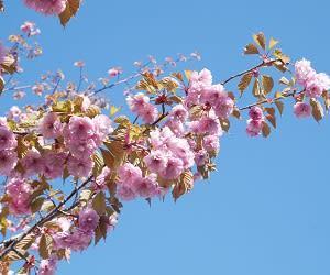 列島最後 桜開花の千秋楽