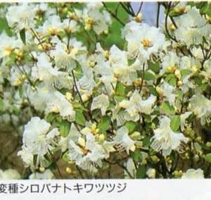 <白い花のツツジ> 「シロバナトキワツツジ」で良いか200803