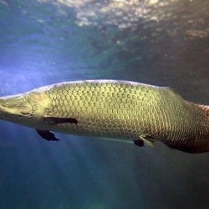 【僕の好きな魚2位】約4000字で分かる、『ピラルク』の浪漫ーロマンー。【最大級淡水魚】
