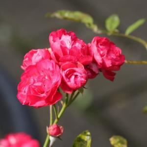6月の春バラ