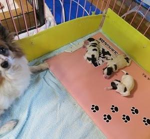 パピヨン・風ちゃんとこうめちゃん出産しました。