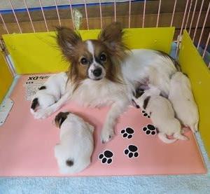 パピヨン・子犬たち