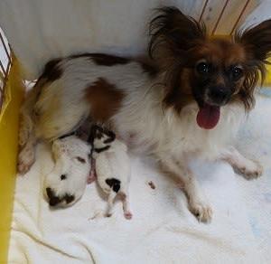 パピヨン・すずめちゃんが2頭の子犬を出産しました。