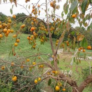 最後の柿の木