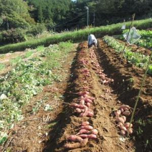 サツマイモの収穫