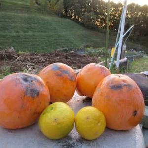 巨大干し柿作り