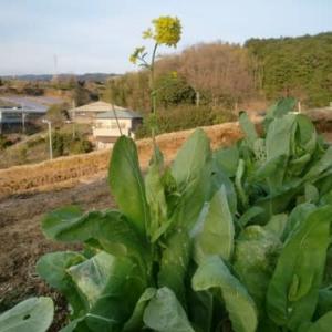 小松菜を冷凍