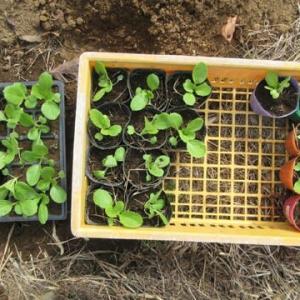 白菜の植え替え実験