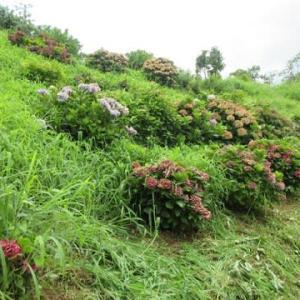 埋もれる紫陽花